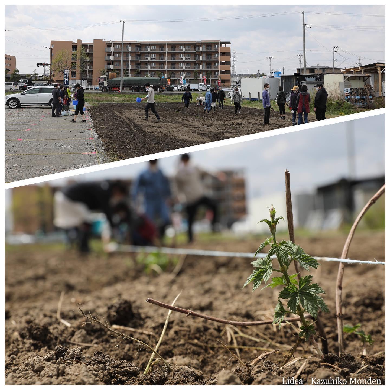 Planted a seedling of a hop at Open Village NOKISHITA.仙台・田子西のノキシタで、なんとホップの栽培を始めました。今日は苗植え。まさか作る側でビールに関わる日が来ようとは。笑